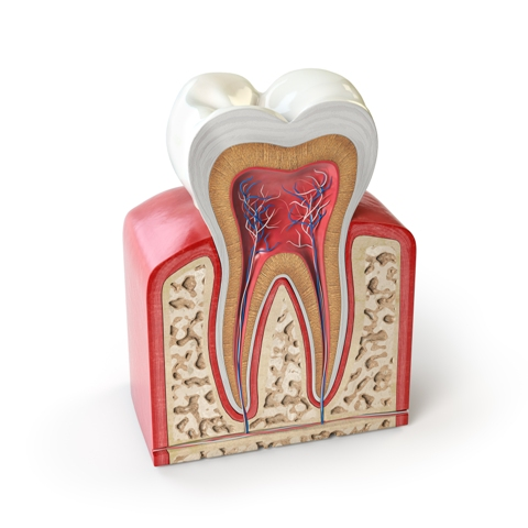 Dental tooth anatomy
